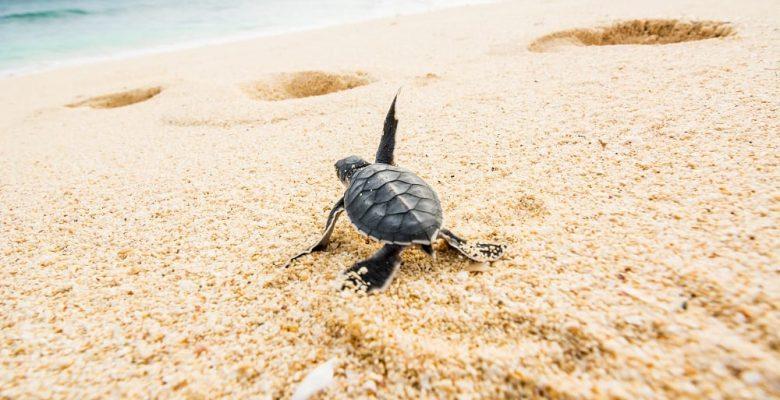 baby turtle crawling towards ocean