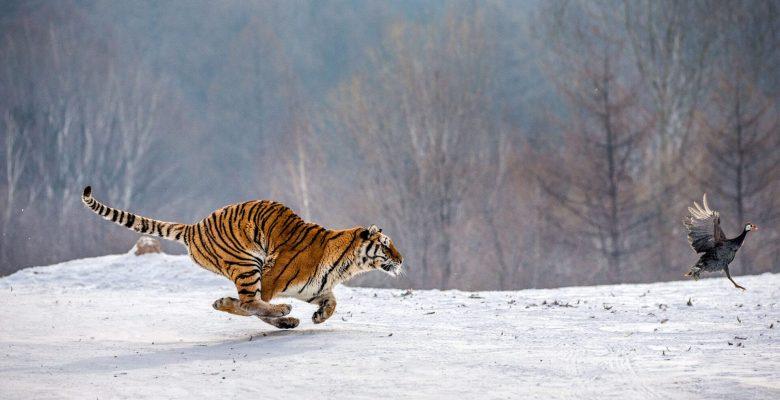 tiger chasing bird on snow