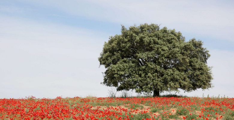 Beautiful tree on hill of red flowers