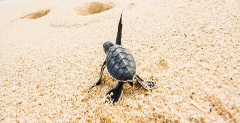 Baby turtle heading towards ocean